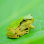 カエルのぴょん吉がお茶屋に居候。彼は何を思うのでしょうか。